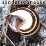 Bandschnecke