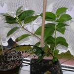 Mandarinenbaum selbst ziehen