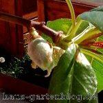 Die Mandel ist selbstfruchtend, das heißt, sie braucht nicht unbedingt eine andere Mandelsorte um Früchte zu bilden.