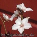 Mandeln schmecken nicht nur lecker, auch die Blüten der Mandelbäume sehen wunderschön aus.