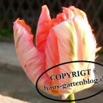 Papageientulpe