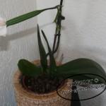 Orchideen - Samenkapsel der Phalaenopsis