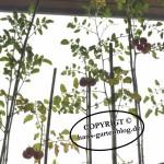 TomatenpflanzenMai