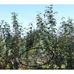 Topinamburpflanzen