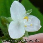 Die einfache Vermehrung der Dreimasterblume ist Fluch und Segen zugleich.