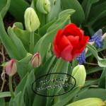 Tulpen8