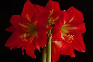 Amaryllis - Die Blume für den Winter