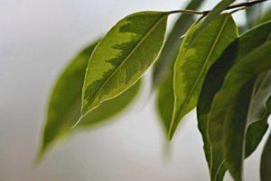 Birkenfeige als Zimmerpflanze - So gut funktioniert die Pflege