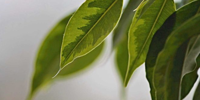 birkenfeige als zimmerpflanze geht das tipps und tricks zur pflege. Black Bedroom Furniture Sets. Home Design Ideas