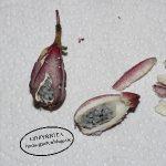 capsularis-kapsel