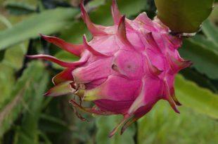 Drachenfrucht - Die Vitaminbombe für den eigenen Garten