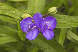 Dreimasterblume - Die bessere Zimmerpflanze?