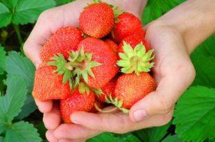 Erdbeere - Das darf in keinem Garten fehlen