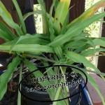 gruenlilie2