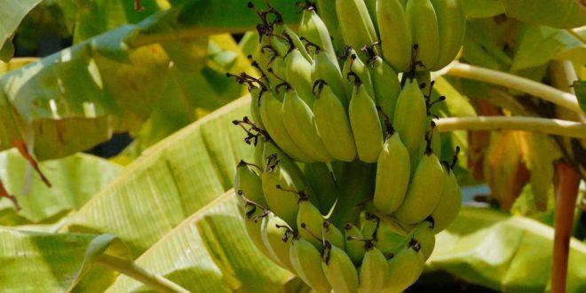 Herkunft Banane - Anbau im tropischen Regionen