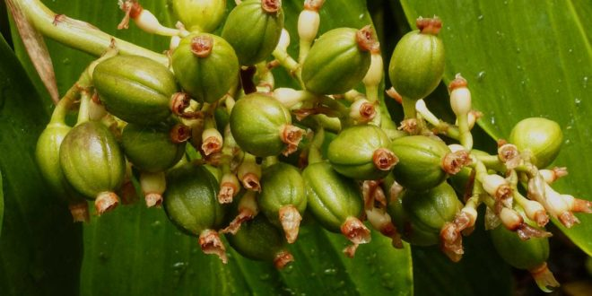 Kaffee selbst anbauen - Eigenversorgung an Kaffeebohnen?