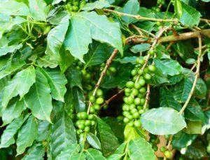 Kaffeesamen - Wie verlief die Anzucht der Keimlinge