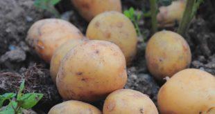 Kartoffeln im Garten anbauen - So einfach klappt es!