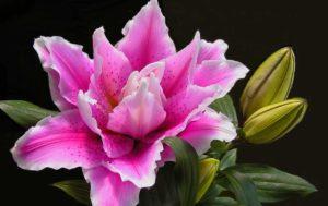 Lilie - Blüte in der Sommerzeit