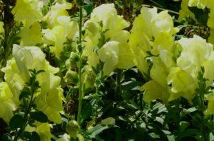 Löwenmäulchen im Garten - Die richtige Pflege