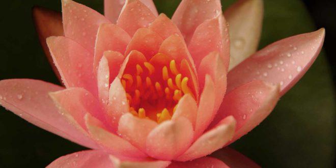 Lotusblume - Die bedeutsame und schöne Pflanze