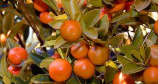 Mandarinenbaum selber ziehen - Bei richtigem Klima eine erfolgreiche Ernte