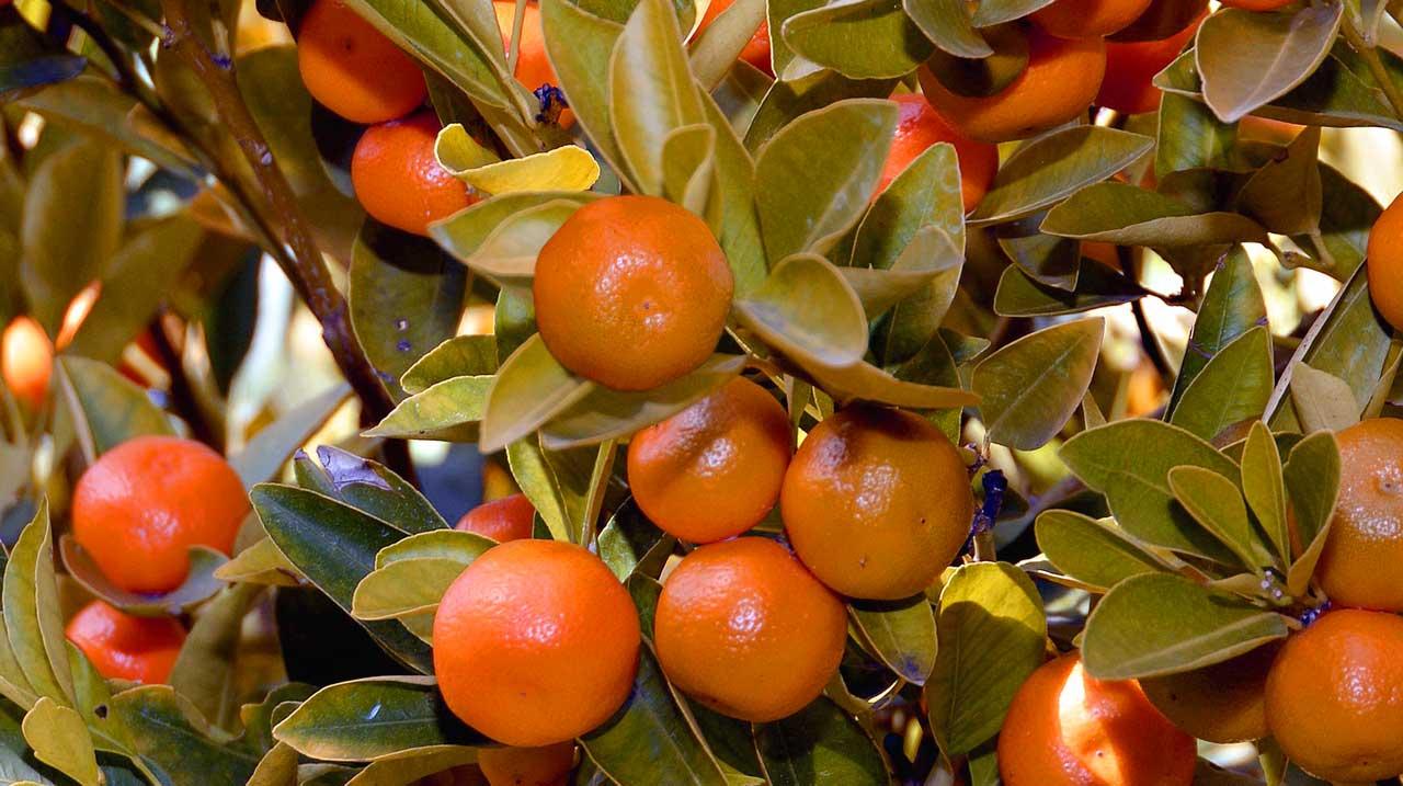 mandarinenbaum selber ziehen pflanzen und z chten mit diesen tipps. Black Bedroom Furniture Sets. Home Design Ideas