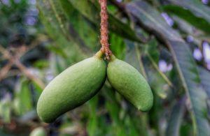 Mango selbst ziehen