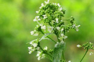 Meerrettich Pflanze bei sich zu Hause anbauen