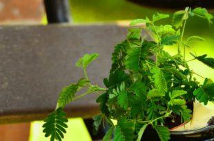 Mimose als Zimmerpflanze