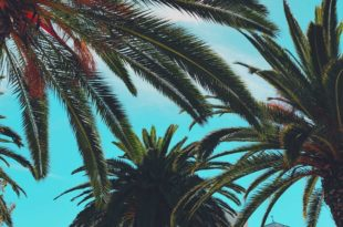 Palmen Zimmerpflanze oder Gartenpflanze?