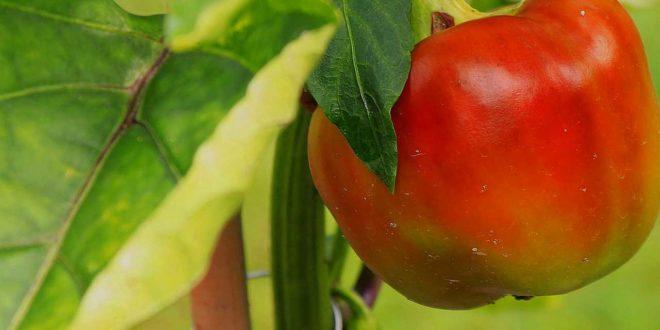 Paprikapflanzen blühen - Was jetzt zu tun ist