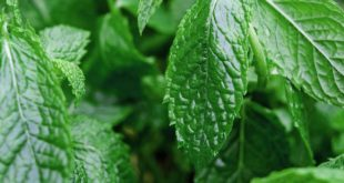 Pfefferminze als Heilpflanze verwenden?