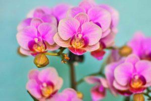 Phalaenopsis - Orchideen als beliebteste Zimmerpflanze