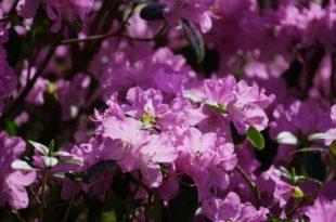 Rhododendren - Immergrüne Schönheit