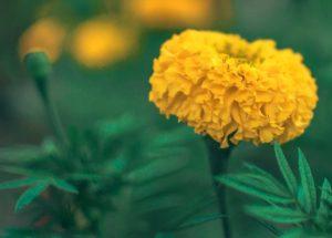 Ringelblume medizinische Wirkung und Anwendung