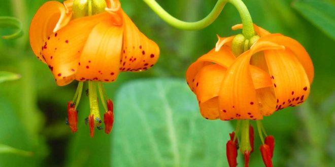 Samenkapsel - Orchidee aussäen