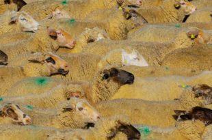 Schafwolle als Dünger