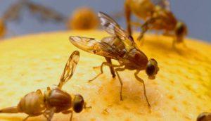 Trauermückenbekämpfung