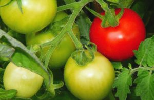 Unreife Tomaten - Was Sie tun können