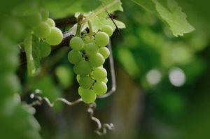 Weintrauben im eigenen Garten anbauen