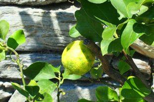 Zitronenbäumchen ziehen - Welche Sorte eignet sich in Deutschland am besten?